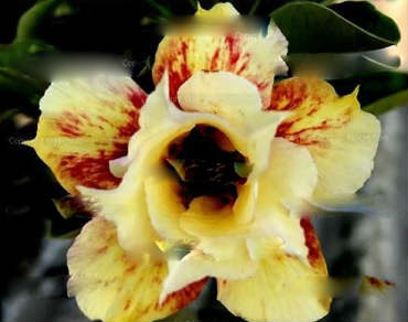 Adenium Obesum \'Double Orange Fantasy\' 5 Seeds
