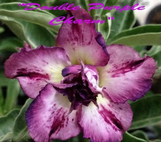 New Adenium \'Double Purple Charm\' 5 Seeds