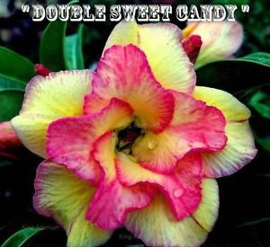 Adenium Obesum 'Double Sweet Candy' 5 Seeds