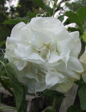 Datura Seeds \'Double White\' (5 Seeds)