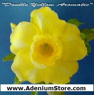 Adenium Obesum 'Double Yellow Aromatic' 5 Seeds