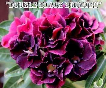 New Adenium \'Double Black Bouquet\' 5 Seeds