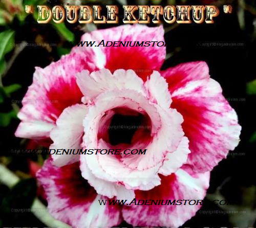 Adenium Obesum Double Ketchup 5 Seeds