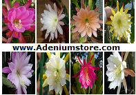 Epiphyllum Seeds [Orchid Cactus] 'Mixed' (10 Seeds)