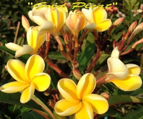 Plumeria Seeds \'Gold Pleat\' 6 Seeds
