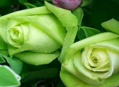 Green Rose \'Fairly\' 10 Seeds