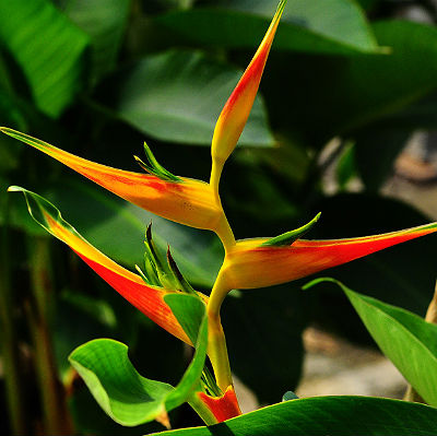 Heliconia Seeds \'Latispatha\' (5 Seeds)