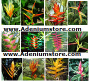 Heliconia Seeds \'Mixed\' 5 Seeds