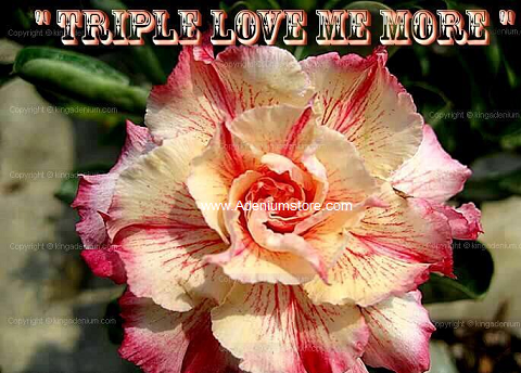 Adenium Obesum 'Triple Love Me More' 5 Seeds