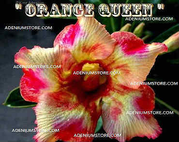 Adenium Obesum \'Orange Queen\' 5 Seeds