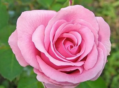 Pink Rose Gentleness Admiration 10 Seeds