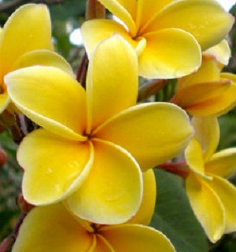 Plumeria Rubra Aztec Gold 6 Seeds - Click Image to Close