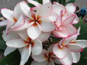 Plumeria Seeds 'Jeepat' (6 Seeds)