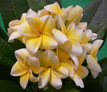 Plumeria Seeds \'Yellow Diamond\' 6 Seeds