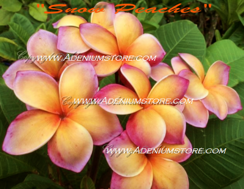 Plumeria Rubra \'Snowy Peaches\' 6 Seeds