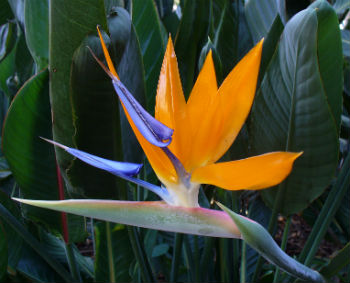 Bird of Paradise \'Strelitzia Reginae\' 5 Seeds