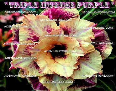 Adenium Obesum \'Triple Intense Purple\' 5 Seeds