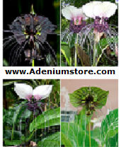 Tacca Bat Plant Seeds 'Mixed' (6 Seeds)