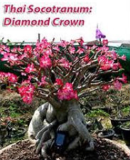 Adenium Thai Socotranum 'Diamond Crown' 5 Seeds