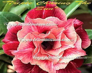 Adenium Obesum \'Triple Chasing the Sun\' 5 Seeds