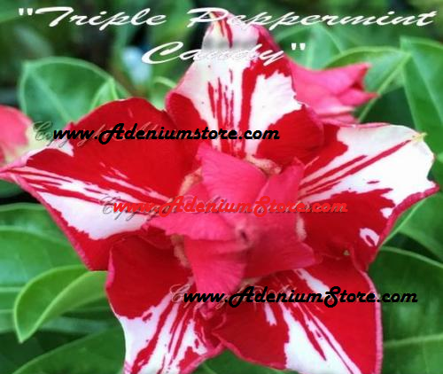 Adenium Obesum Triple Peppermint Candy 5 Seeds