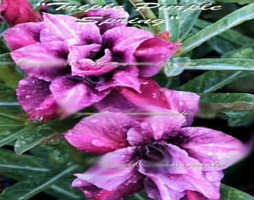 Adenium Obesum \'Triple Purple Spring\' 5 Seeds