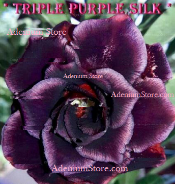 Adenium Obesum Triple Purple Silk 5 Seeds