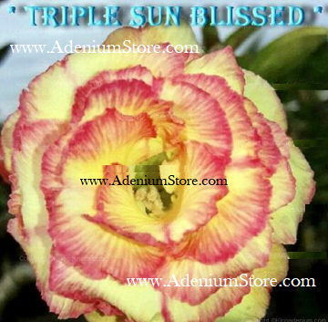 Adenium Obesum Triple Sun Blissed 5 Seeds