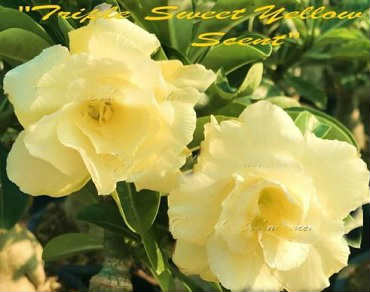 Adenium Obesum \'Triple Sweet Yellow Scent\' 5 Seeds