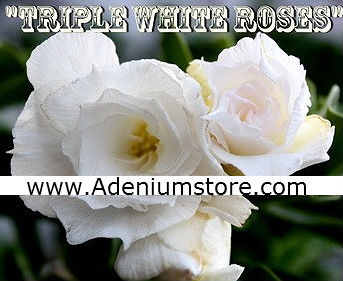Adenium 'Triple White Roses' 5 Seeds