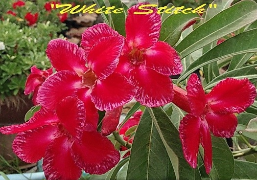Adenium 'White Stitch' 5 Seeds