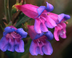 Penstemon Strictus \'Rocky Mountain\' 6 Seeds