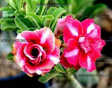 Adenium Obesum \'Triple Electric\' 5 Seeds